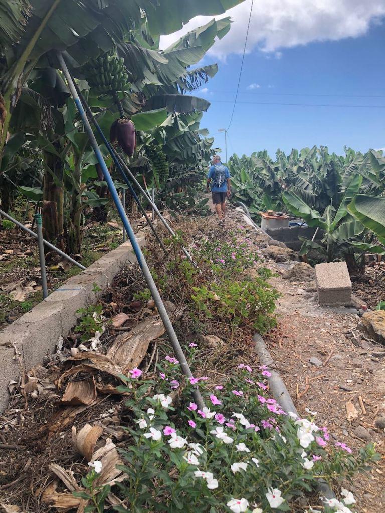 at La Palma you always pass banana plantation, wherever you go